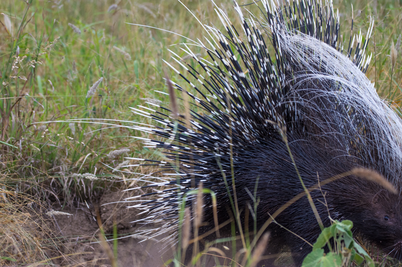 The first glimpse of the porcupine as it darted out of the hole in a hurry to seek shelter in a thicket nearby