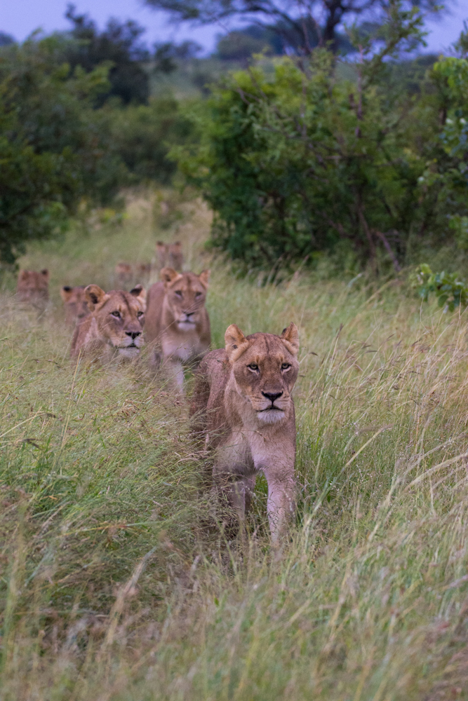The Mhungen pride, led by the females in the foreground of the picture, moved through an open grassland area, responding to the distant noise of a herd of buffalo. The look on each of their faces shows an obvious intent.