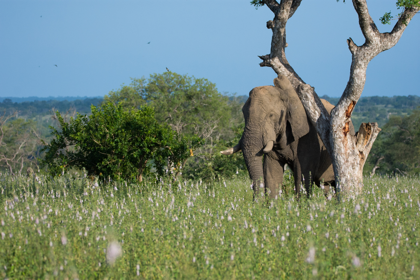 This elephant bull pressed himself up against a marula tree, shaking it repeatedly, allowing the ripened marula fruits to fall to the ground which he then devoured. The newly bloomed wild foxglove flowers made for an incredibly beautiful scene.