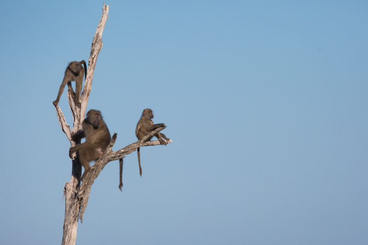 Baboons JT-7 - A dominant male on lookout duty is joined by some youngsters of his troop.