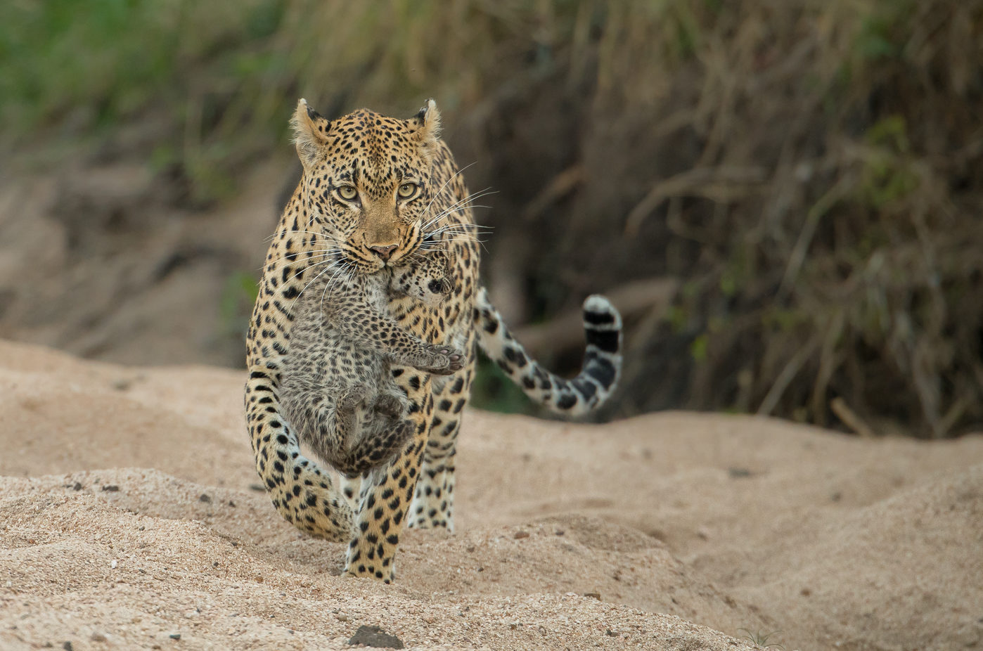 A leopard at Londolozi carries her cub across a sandy river bed by David Dampier