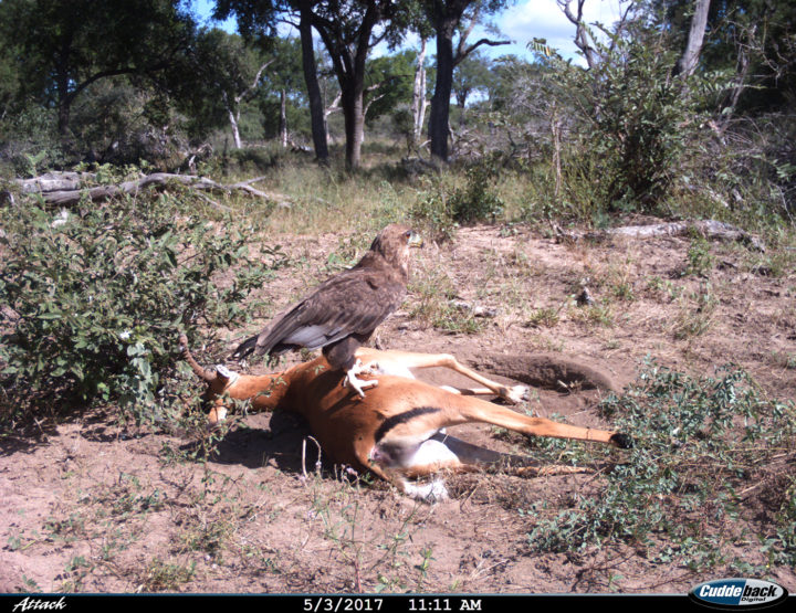 Impala carcass, bateleur, camera trap