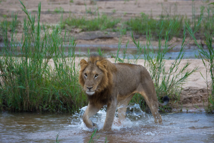 Not before long, the young males were up and began to follow. Typically lions and leopards don't quite enjoy crossing fast flowing water, particularly deeper waters due to the threat of crocodiles. Here the lions chose to cross at a very narrow and shallow section of the river.