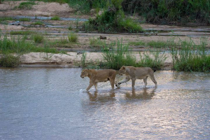 The same kind of focus and intensity was however not evident in the younger female, who thought that crossing the river meant play-time. Here she attempts to ankle-tap the tailless female in front of her.
