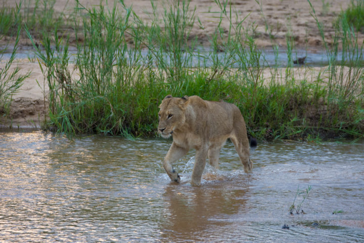 The tailless female awoke from her afternoon slumber and began to cross the sand river towards us. The intensity of her movements indicated that she intended on beginning the evening hunt.