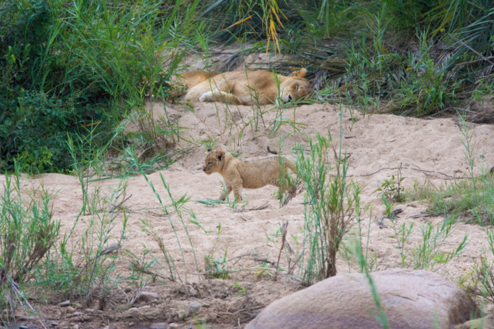 The cubs clearly had other ideas for the afternoon. Whilst the rest of the pride slept, they continued to stalk and play with each other
