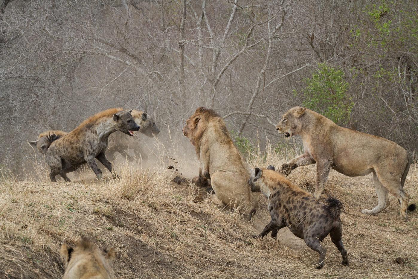 Why the Hyenas are Alone | Londolozi Blog