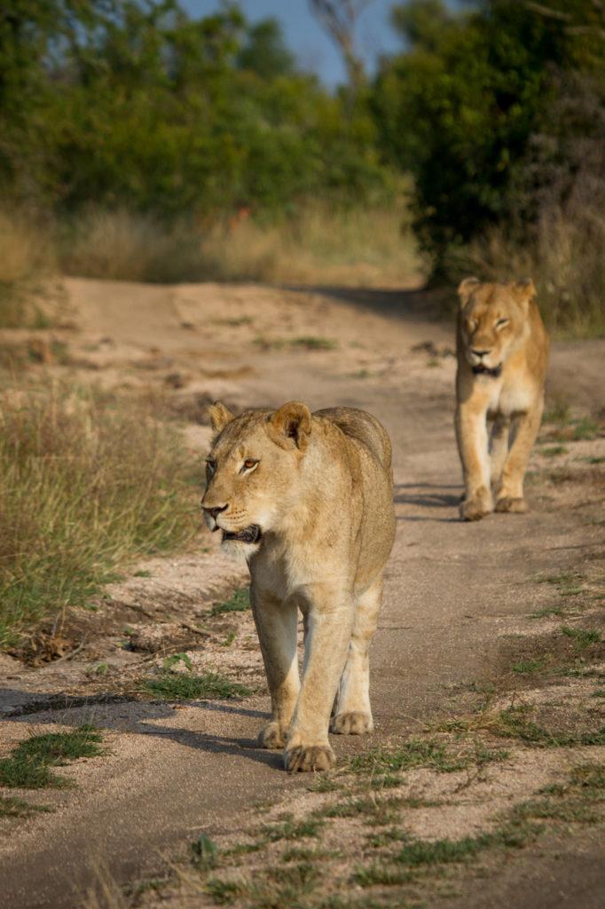 Photograph by James Souchon. Tsalala lioness