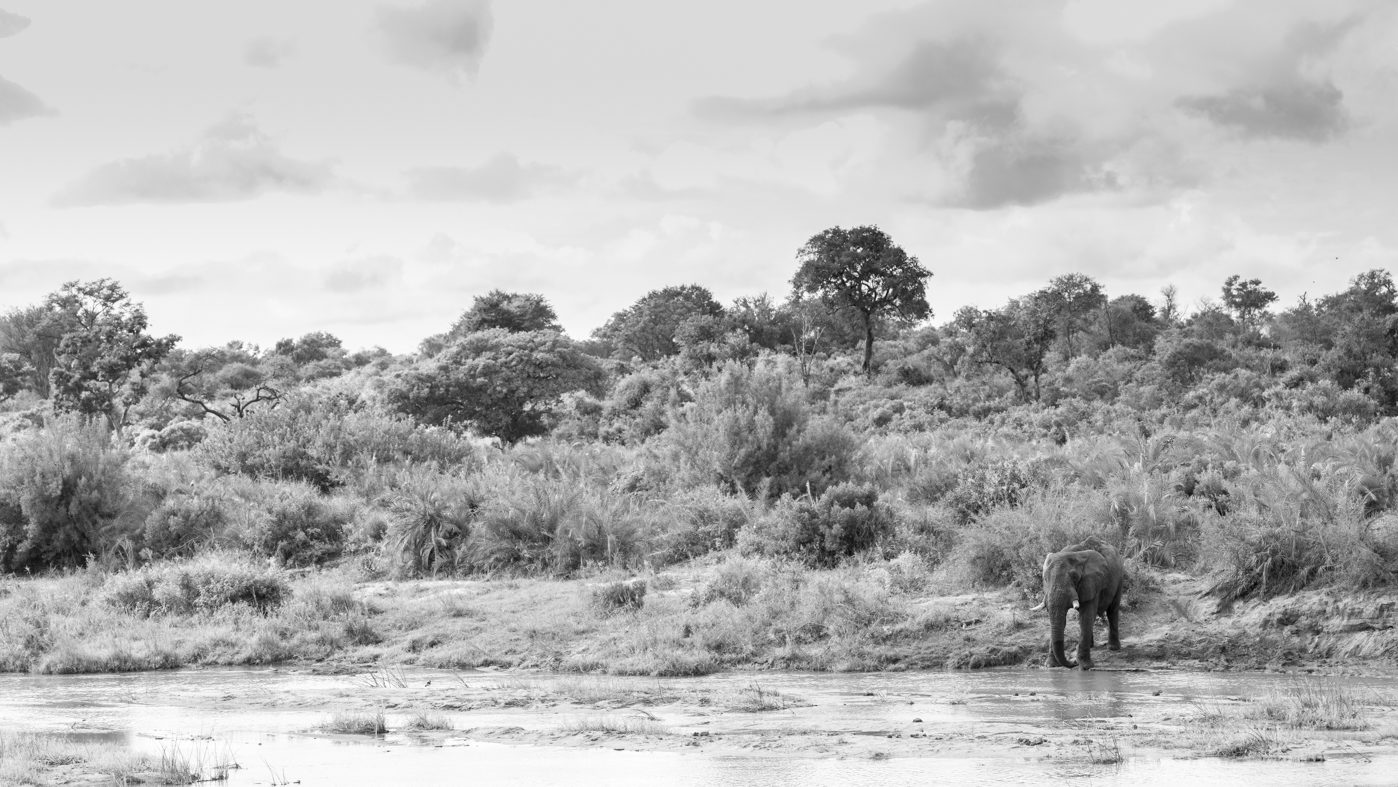Elephant in black and white drinking form a river at Londolozi