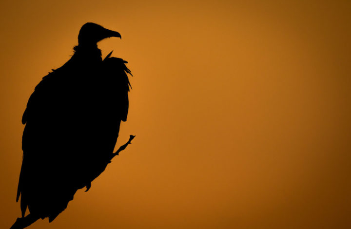 hooded vulture, silhouette, AJ 2017
