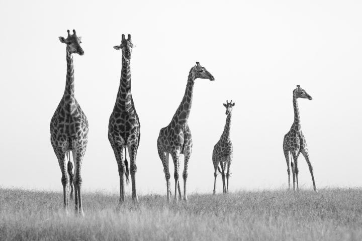 giraffe, journey