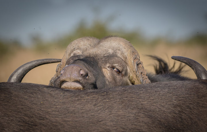 buffalo, herd, eyes