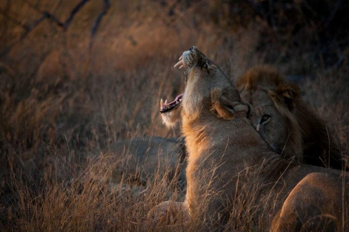 lion, yawn, ntsevu, avoca