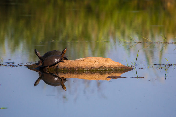 terrapin, Sand River, reflection