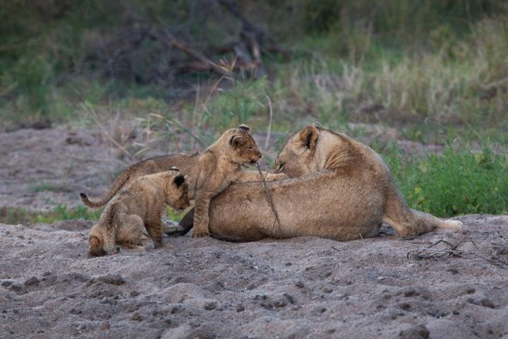 Tsalala breakaway, cubs, lion