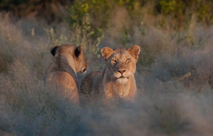 ntsevu, lion, pride