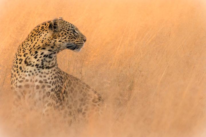 mashaba leopard, nick kleer