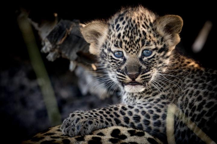 tamboti leopard cub, nick kleer