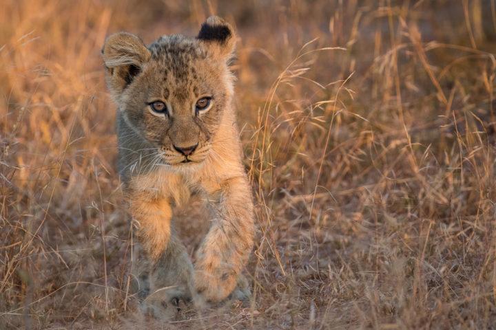 lion cub, tsalala, nick kleer