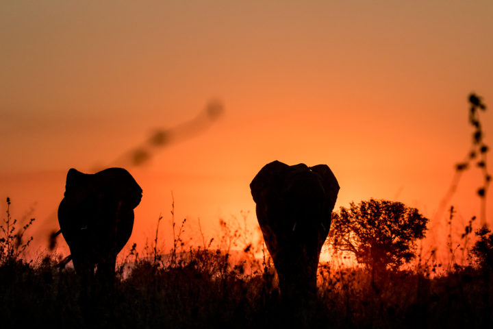 elephants, sunset, nick kleer