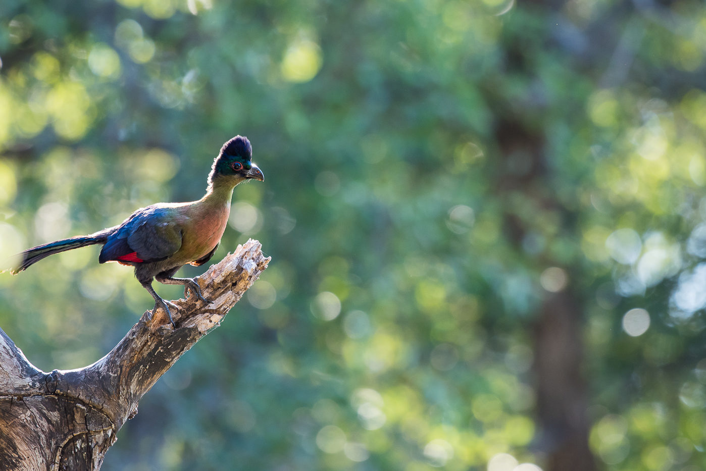 A purple crested turaco perches on a branch with a green blur as a background at Londolozi