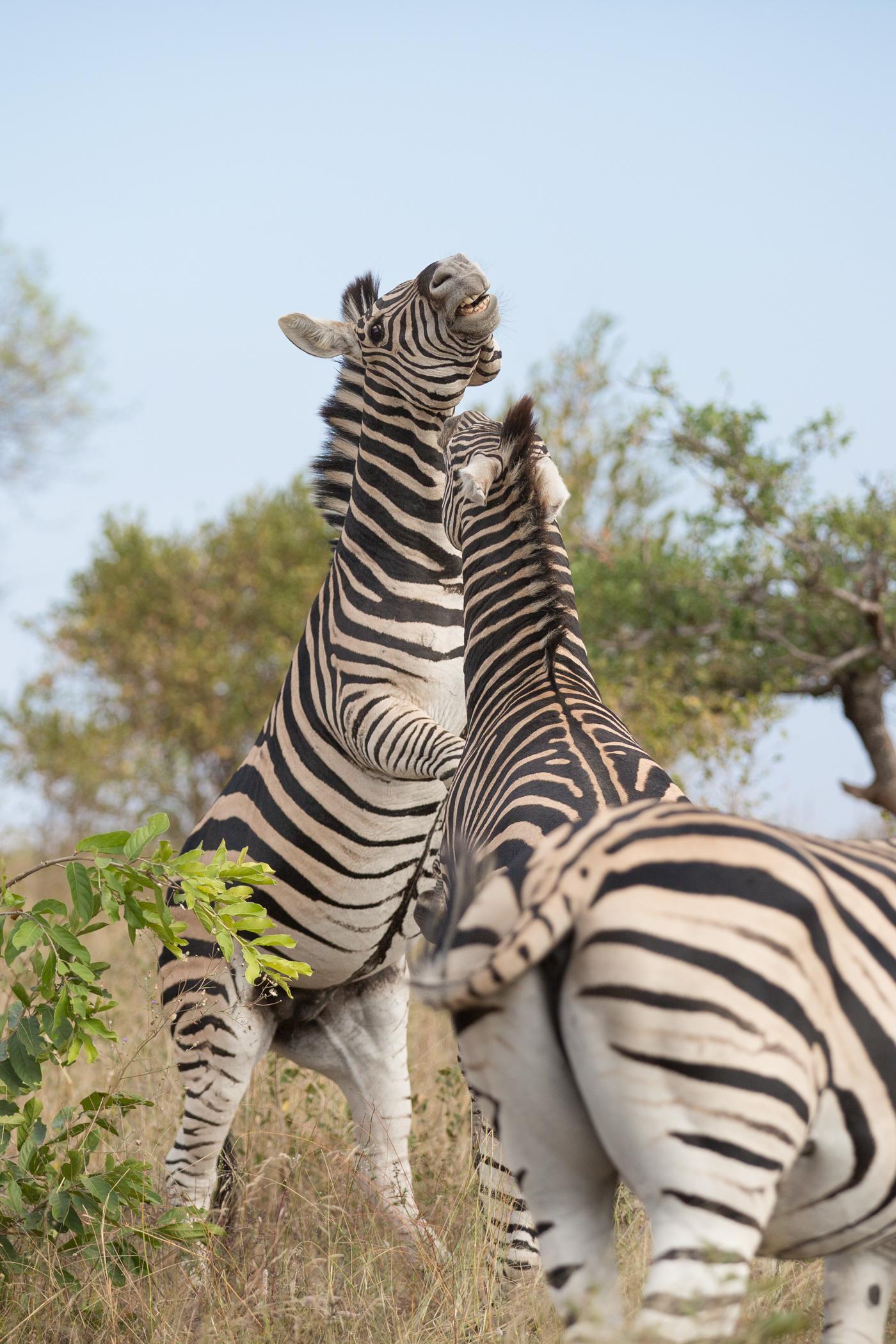 zebra stallions fighting londolozi blog