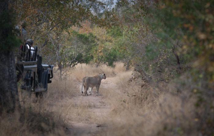 Lioness tsalala breakaway hunting