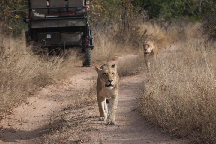 Lions tsalala breakaway tailess pride