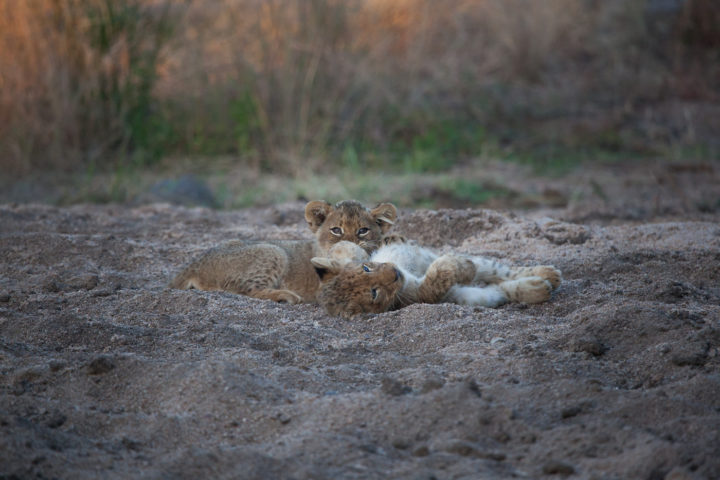 lions cubs riverbed