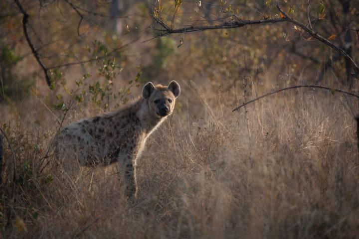 hyena scavenger rimlight