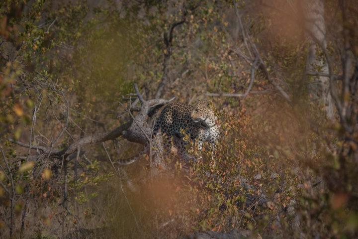 Nhlanguleni female leopard camouflage