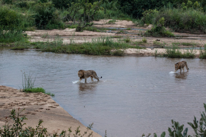 lion tsalala young males sand river