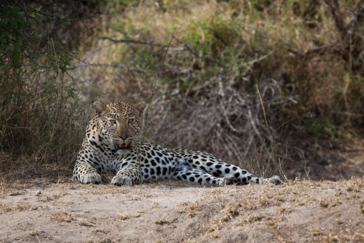leopard flat rock male resting