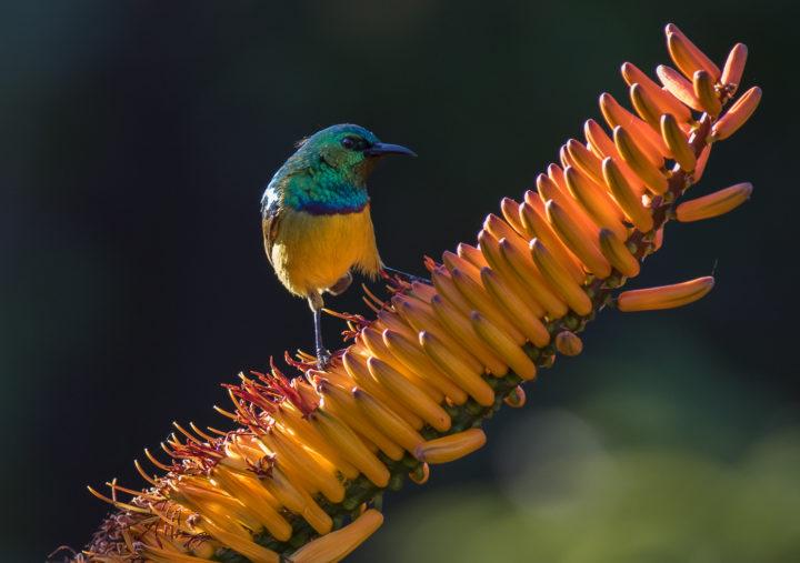 collared sunbird, AA