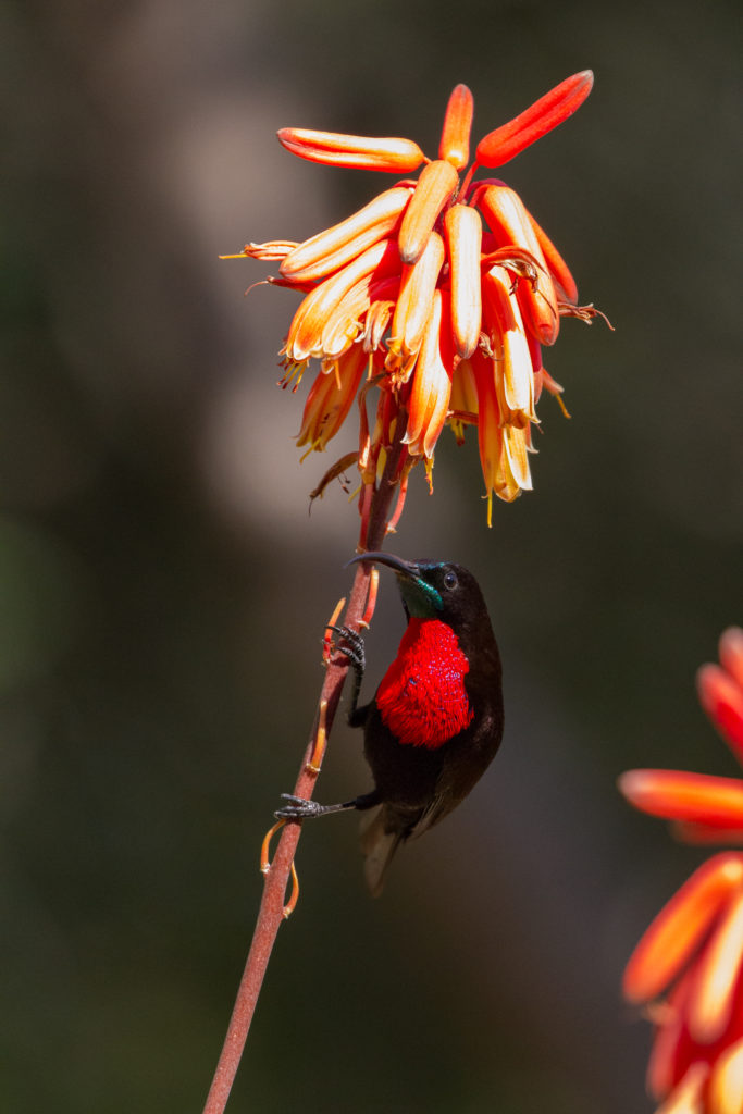 scarlet-chested sunbird, AB