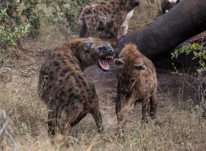 hyenas, elephant carcass