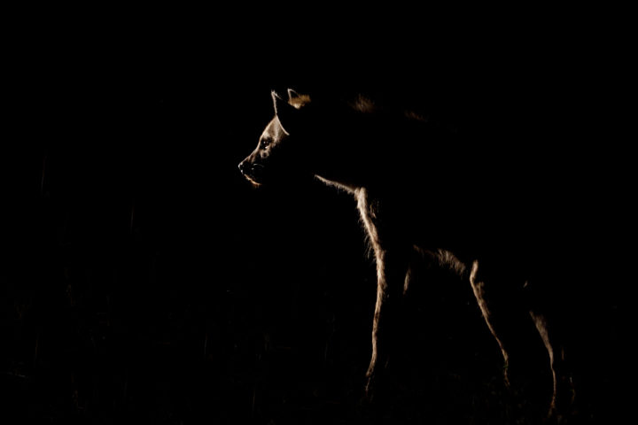 hyena night AA