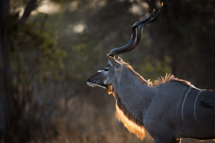 Side profile of a backlit male kudu, emphasising it's beautiful mane at Londolozi.
