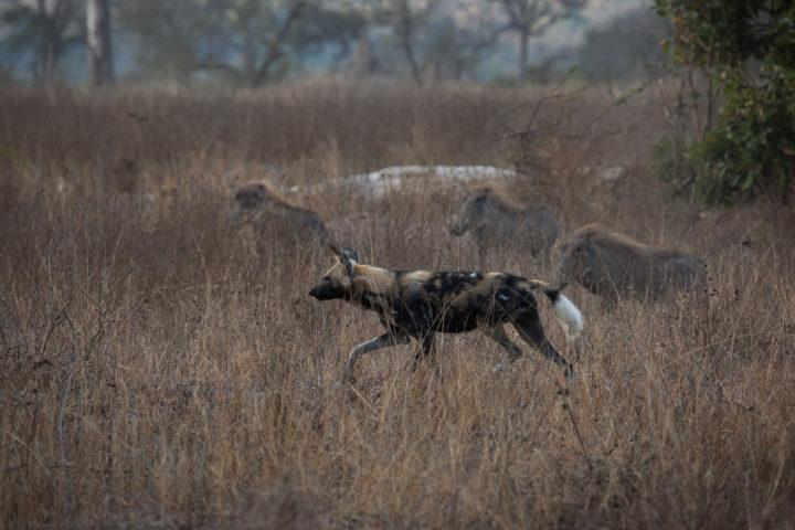 wild dogs, warthogs