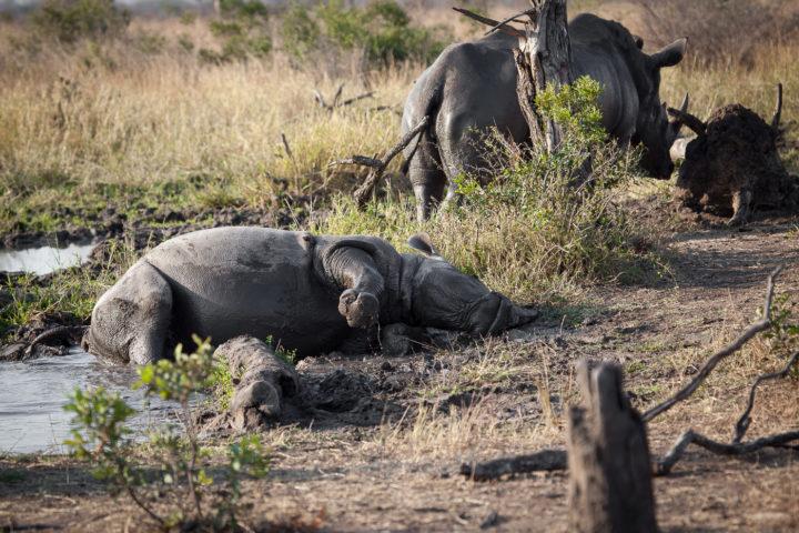 rhino, mud wallow