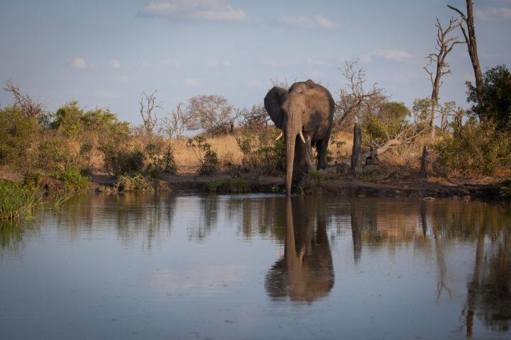 elephant, drinking