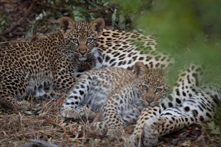 tamboti, leopard cubs