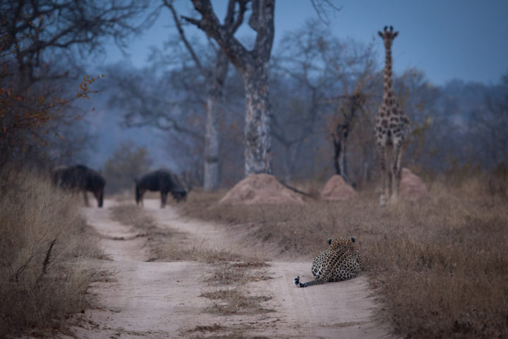 piva, giraffe, wildebeest, leopard hunting