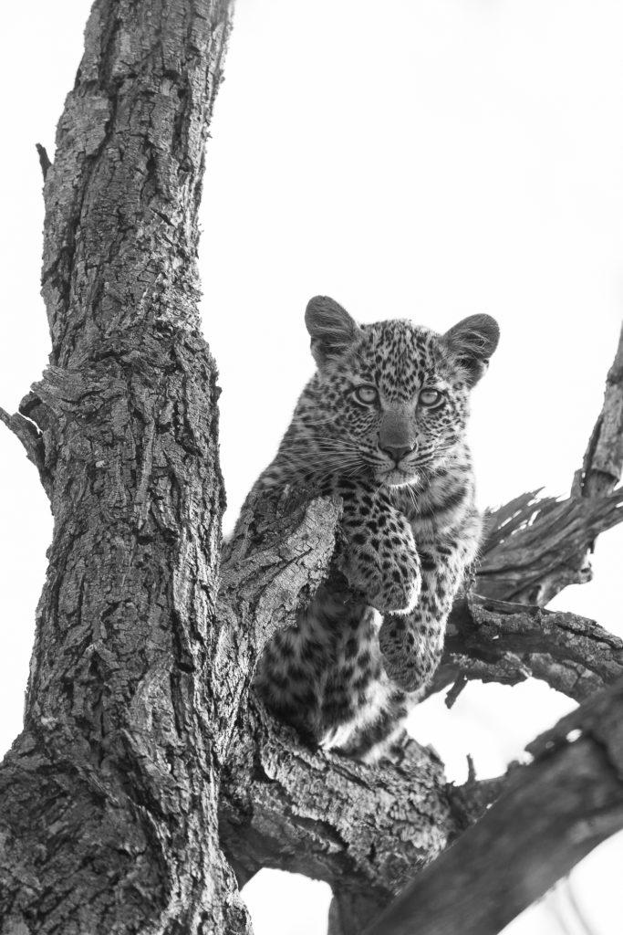 nkoveni leopard cub