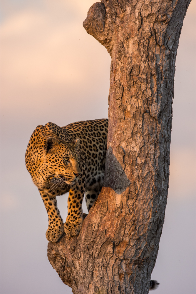 The Mashaba female provided us with phenomenal photographic opportunities as she climbed a marula tree to survey her surroundings