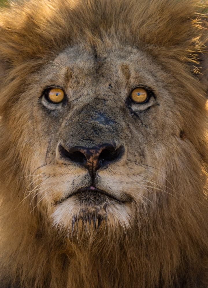 The lone Matshapiri male was found recently, moving rather erratically and contact calling incessantly possibly in search of the six Ntsevu lionesses. Having recently lost his brother due to injury, it means a time of uncertainty ahead for this male