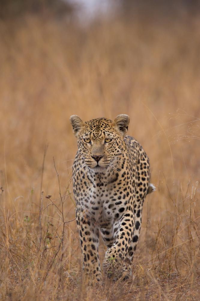 mashaba, leopard