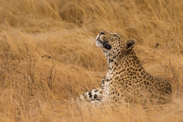 mashaba, leopard, grass