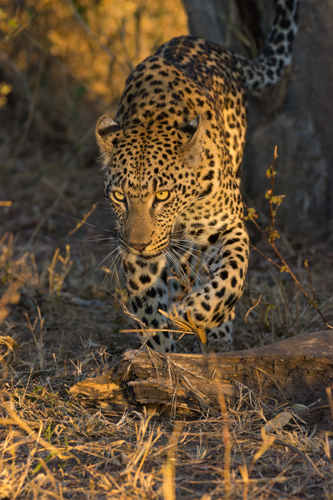 The Mashaba Young Female, who had been chased up a tall tree by the Flat Rock Male moments before, determined that it was safe to descend the tree, and move swiftly out of the area