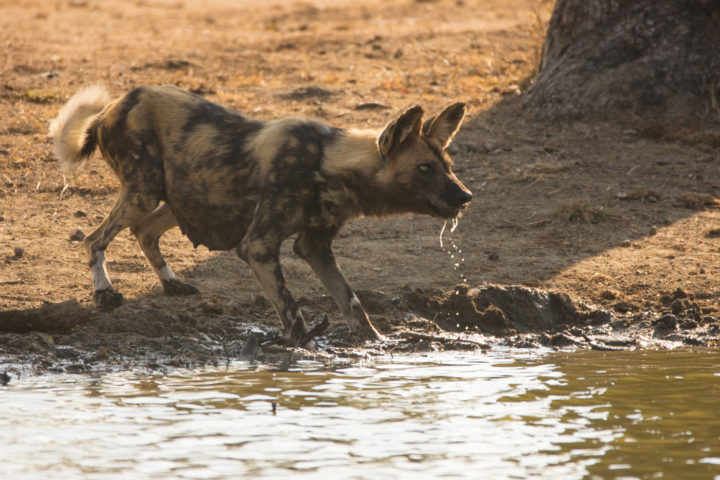 Wild Dogs, like most animals, approach watering holes and river systems with great caution, out of fear of what may lurk beneath the muddy surface. In this case, a pack of 12 quenches their thirst after finishing the remains of an impala kill